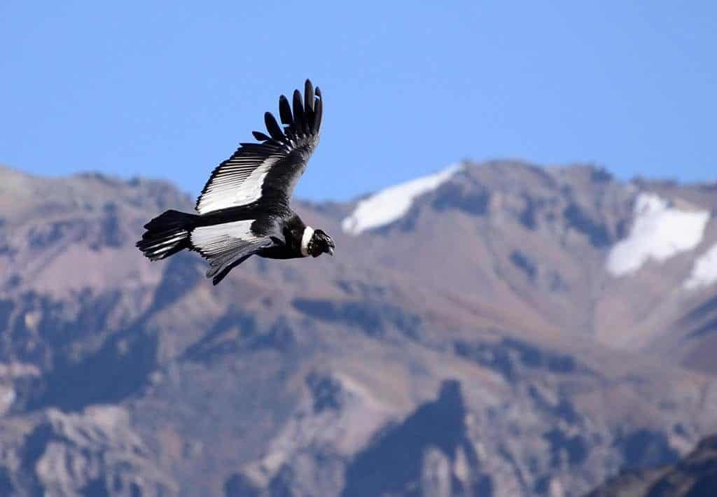 Colca Condor